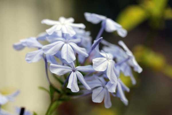 Flori ce rezista iarna in casa Plumbago Floarea Dragostei